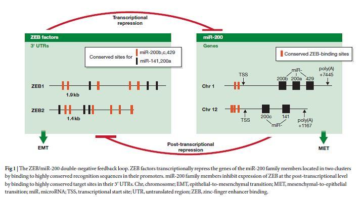 ZEB/miR-200 double negative feedback loop
